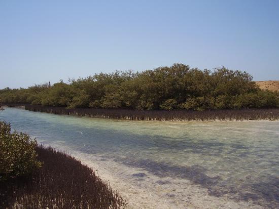 Albri di mangrove
